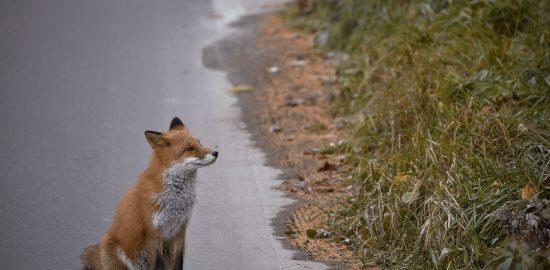 ariyoshi-fox_original